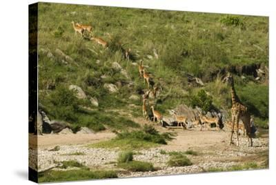Impala Herd-Mary Ann McDonald-Stretched Canvas Print