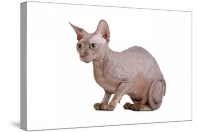Sphinx Cat-Fabio Petroni-Stretched Canvas Print