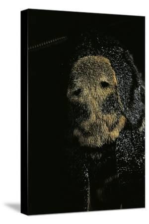 Acherontia Atropos (Death's Head Hawk Moth) - Detail-Paul Starosta-Stretched Canvas Print