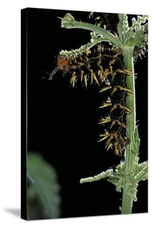 Hypolimnas Bolina (Great Eggfly, Blue Moon Butterfly) - Caterpillar with Orange Spines-Paul Starosta-Stretched Canvas Print
