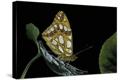 Issoria Lathonia (Queen of Spain Fritillary)-Paul Starosta-Stretched Canvas Print