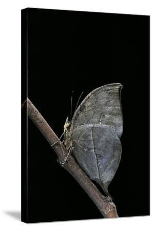 Kallima Inachus (Orange Oakleaf, Dead Leaf Butterfly)-Paul Starosta-Stretched Canvas Print