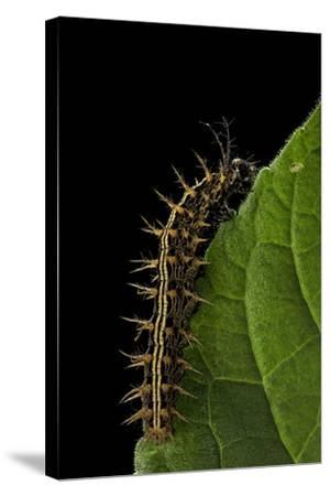 Argynnis Paphia (Silver-Washed Fritillary) - Caterpillar-Paul Starosta-Stretched Canvas Print