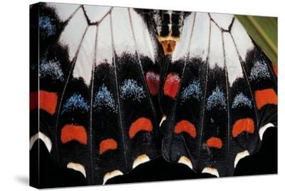 Papilio Aegeus (Orchard Swallowtail Butterfly, Large Citrus Butterfly) - Wings Detail of Female-Paul Starosta-Stretched Canvas Print