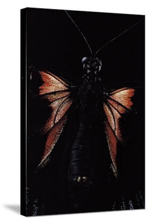 Papilio Rumanzovia (Scarlet Mormon) - Female Detail-Paul Starosta-Stretched Canvas Print