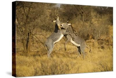 Grevy's Zebra Fighting-Mary Ann McDonald-Stretched Canvas Print