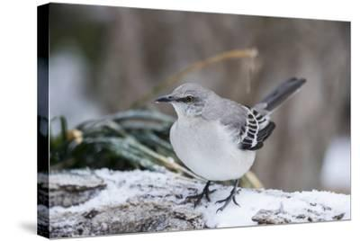 Northern Mockingbird-Gary Carter-Stretched Canvas Print