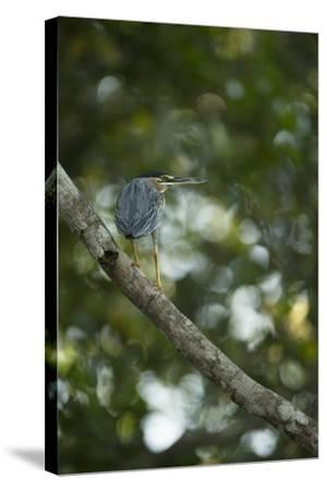Striated Heron-Joe McDonald-Stretched Canvas Print