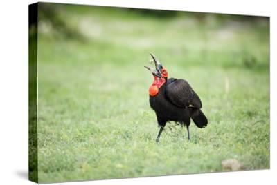 A Ground Hornbill Eats a Frog-Richard Du Toit-Stretched Canvas Print