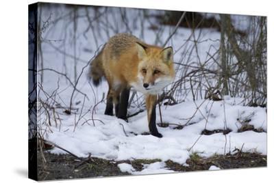 Red Fox-Joe McDonald-Stretched Canvas Print