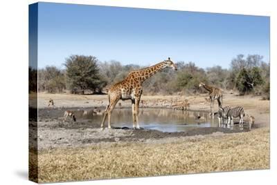Giraffe and Zebra at Waterhole-Richard Du Toit-Stretched Canvas Print