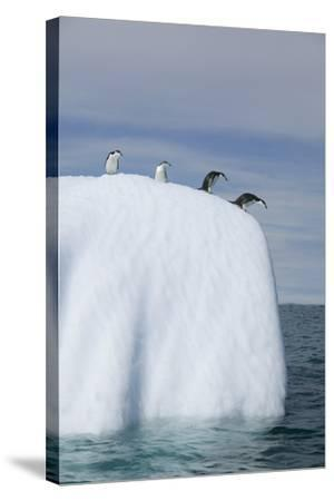 Penguins Peering over Iceberg-DLILLC-Stretched Canvas Print