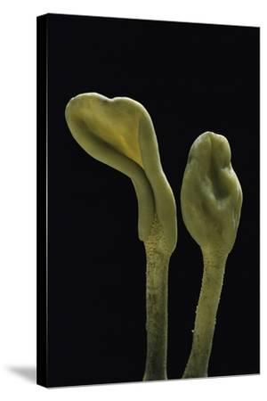 Microglossum Viride (Green Earth Tongue)-Paul Starosta-Stretched Canvas Print