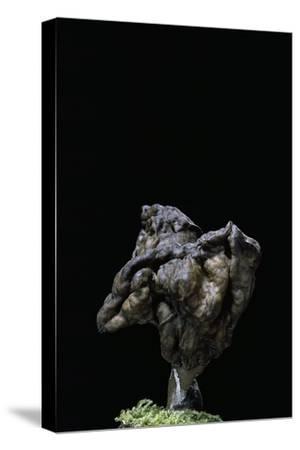 Gyromitra Infula (Hooded False Morel, Elfin Saddle)-Paul Starosta-Stretched Canvas Print