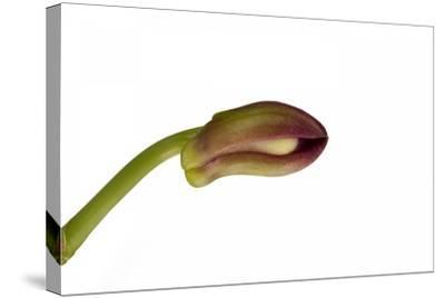 Dendrobium Nobile Ibrid3-Fabio Petroni-Stretched Canvas Print