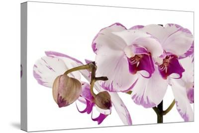 Phalaenopsis Shih Hua Smile2-Fabio Petroni-Stretched Canvas Print