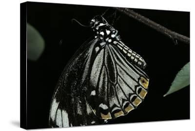 Papilio Clytia (Common Mime Swallowtail)-Paul Starosta-Stretched Canvas Print