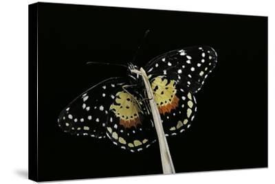Chlosyne Janais (Janais Patch Butterfly, Crimson Patch)-Paul Starosta-Stretched Canvas Print