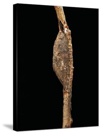 Cerura Vinula (Puss Moth) - Cocoon-Paul Starosta-Stretched Canvas Print