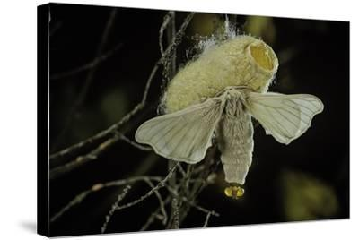 Bombyx Mori (Common Silkmoth) - Female Exposing its Scent Glands (Sacculi Laterales) to Attract Mal-Paul Starosta-Stretched Canvas Print