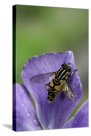Helophilus Pendulus (Hoverfly, Sun Fly) - Cleaning Itself-Paul Starosta-Stretched Canvas Print