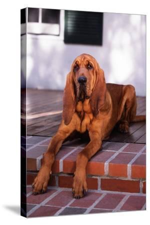 Bloodhound Resting on Porch-DLILLC-Stretched Canvas Print