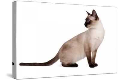 Siamese Thai Cat-Fabio Petroni-Stretched Canvas Print