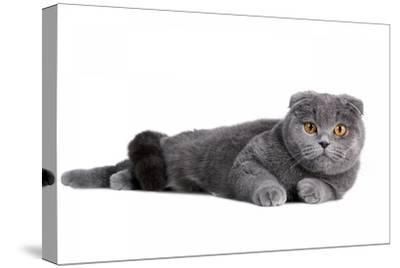 Scottish Fold Cat-Fabio Petroni-Stretched Canvas Print