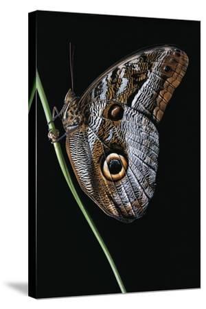 Caligo Idomeneus (Owl Butterfly)-Paul Starosta-Stretched Canvas Print