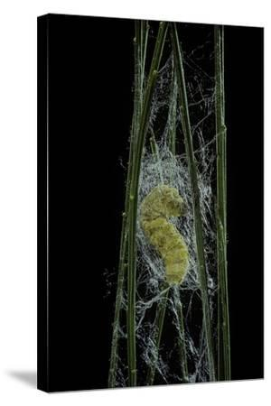 Bombyx Mori (Common Silkmoth) - Larva or Silkworm Spinning Cocoon-Paul Starosta-Stretched Canvas Print