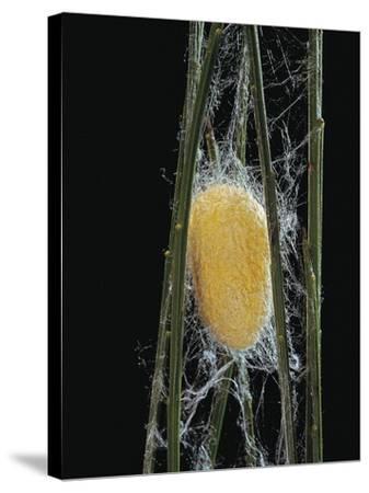 Bombyx Mori (Common Silkmoth) - Cocoon-Paul Starosta-Stretched Canvas Print