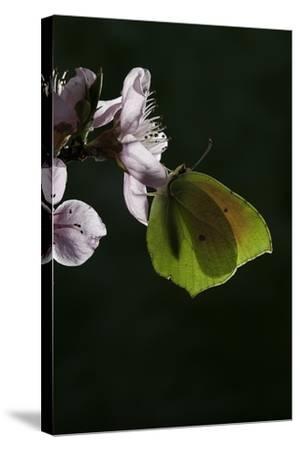 Gonepteryx Cleopatra (Cleopatra Butterfly)-Paul Starosta-Stretched Canvas Print