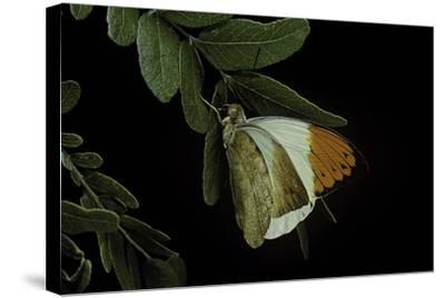 Hebomoia Glaucippe (Great Orange Tip)-Paul Starosta-Stretched Canvas Print