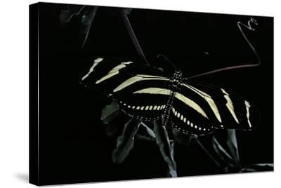 Heliconius Charithonia (Zebra Longwing)-Paul Starosta-Stretched Canvas Print