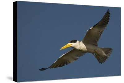 Large-Billed Tern-Joe McDonald-Stretched Canvas Print