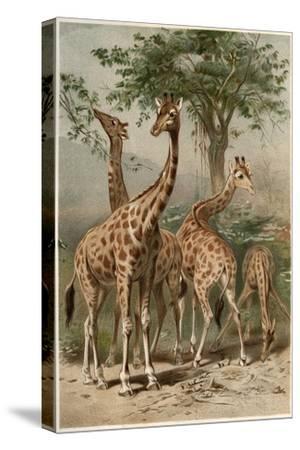 The Giraffe by Alfred Edmund Brehm-Stefano Bianchetti-Stretched Canvas Print