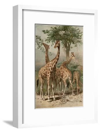 The Giraffe by Alfred Edmund Brehm-Stefano Bianchetti-Framed Giclee Print
