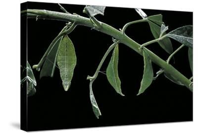 Papilio Dardanus Meriones (African Swallowtail, Mocker Swallowtail Butterfly) - Pupae-Paul Starosta-Stretched Canvas Print