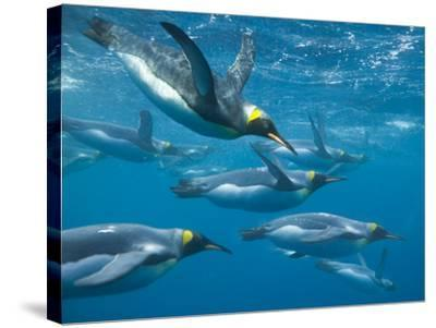 King Penguins Swimming Underwater-DLILLC-Stretched Canvas Print
