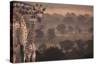 Giraffes in Africa-DLILLC-Stretched Canvas Print