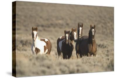 Herd of Wild Horses-DLILLC-Stretched Canvas Print