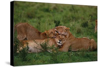 Lions Lounging in Grass-DLILLC-Stretched Canvas Print
