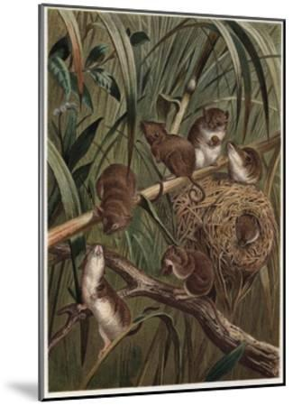 Eurasian Harvest Mouse by Alfred Edmund Brehm-Stefano Bianchetti-Mounted Giclee Print