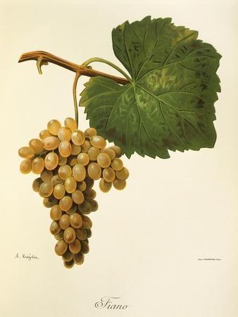 Catarratto Grape-A. Kreyder-Framed Giclee Print