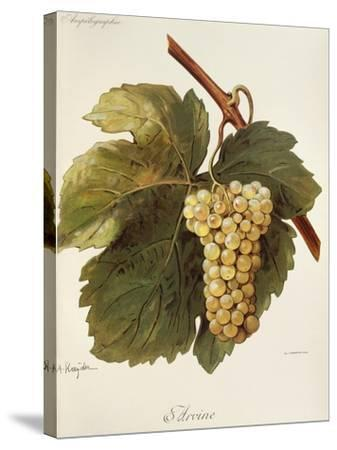 Arvine Grape-A. Kreyder-Stretched Canvas Print