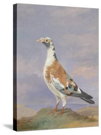 Grizzle Carrier Pigeon-D. the Younger Wolstenholme-Stretched Canvas Print