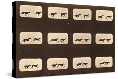 Image Sequence of Running Greyhounds, 'Animal Locomotion' Series, C.1881-Eadweard Muybridge-Stretched Canvas Print