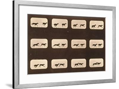 Image Sequence of Running Greyhounds, 'Animal Locomotion' Series, C.1881-Eadweard Muybridge-Framed Giclee Print