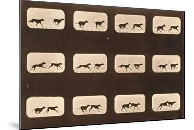 Image Sequence of Running Greyhounds, 'Animal Locomotion' Series, C.1881-Eadweard Muybridge-Mounted Giclee Print