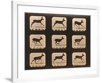 Image Sequence of a Running Deer, 'Animal Locomotion' Series, C.1881-Eadweard Muybridge-Framed Giclee Print